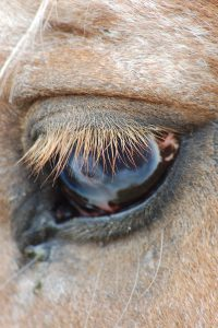 Looking into a horses eye