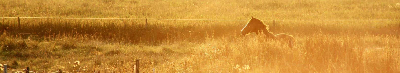 Horse in golden field